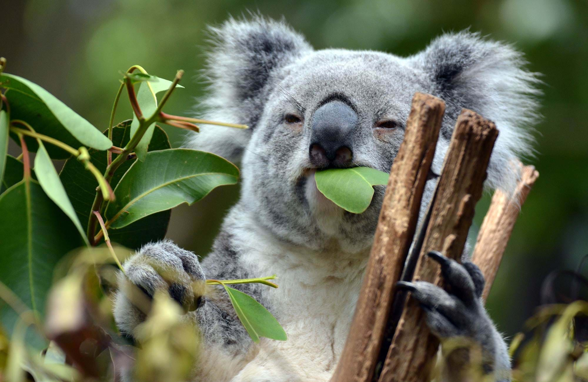 meet the cute koalas in the trees while you study your master in brisbane