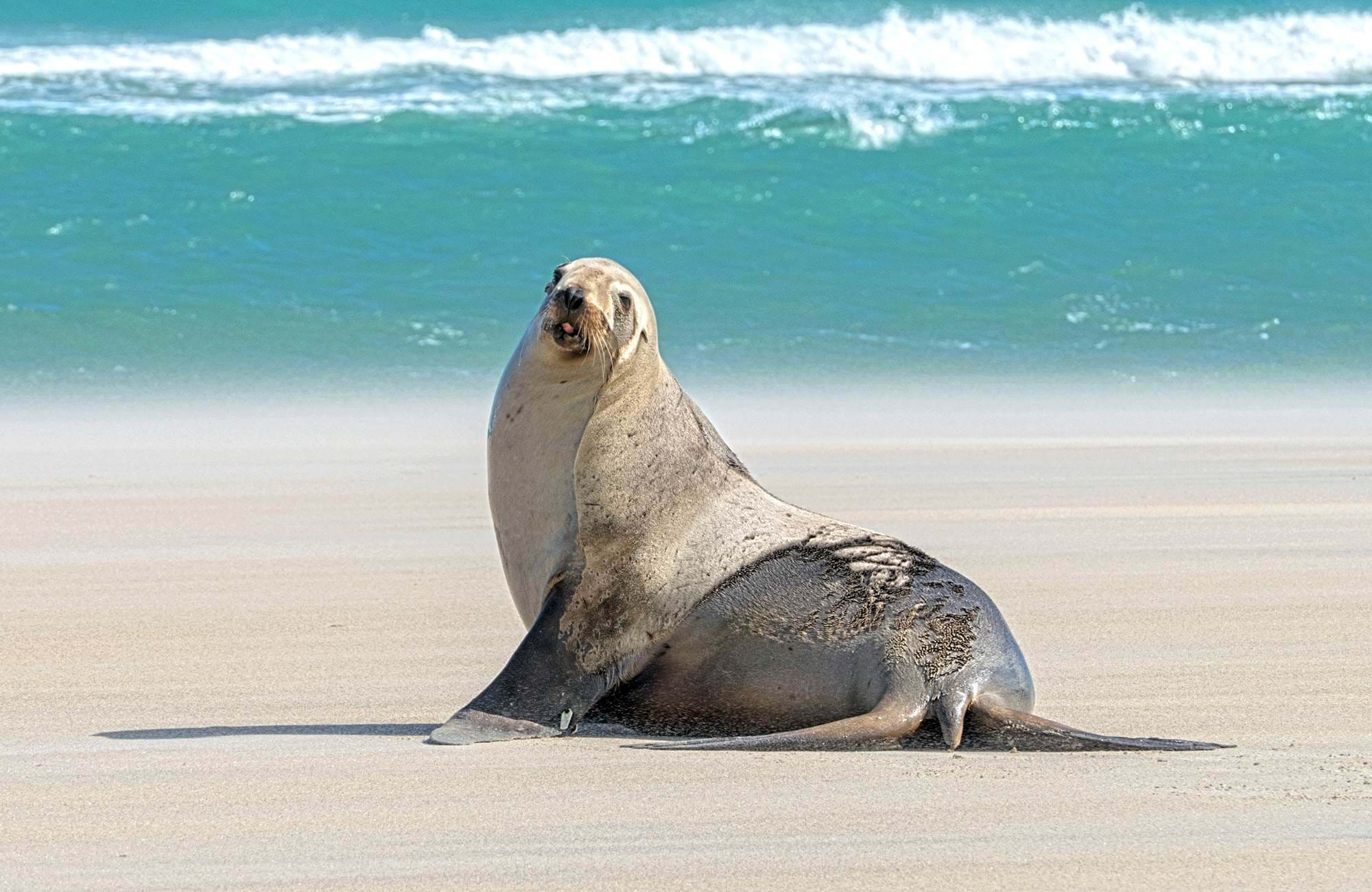 A sea lion on the beach in New Zealand