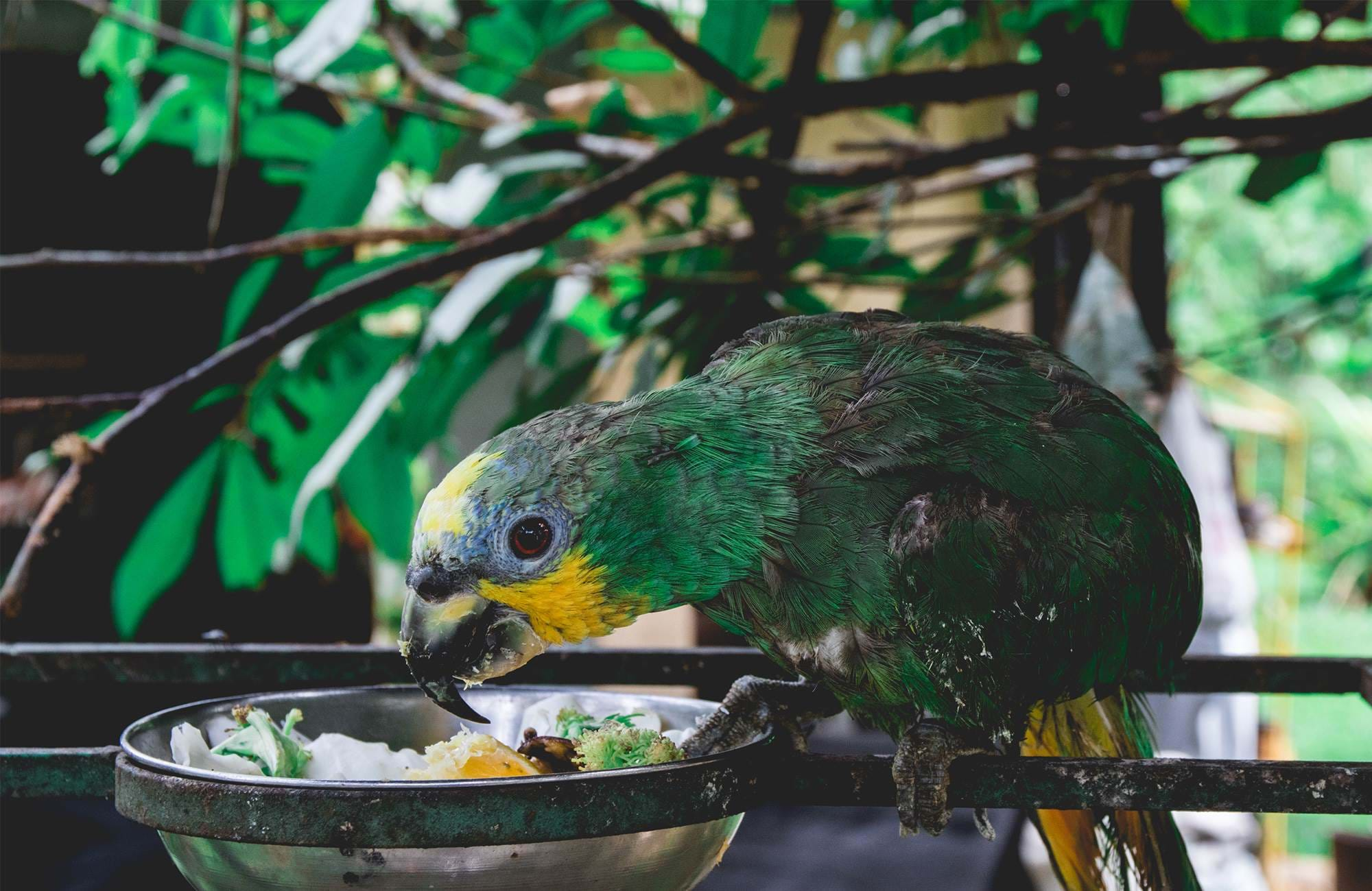 parrot eating from a bowl