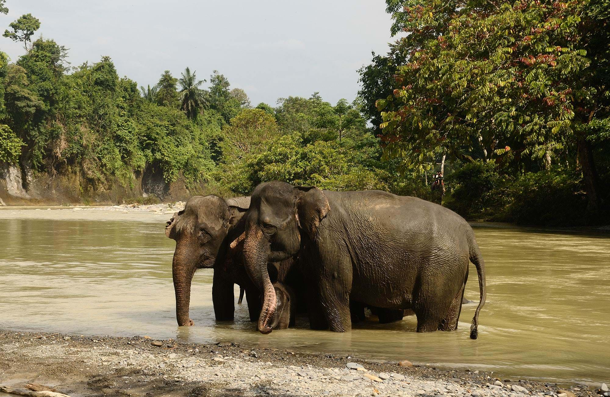 sumatra-elephants-in-water